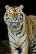Tiger Kuvituskuvat