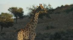 Giraffe - standing, dune in background. Africa safari animal mammal 4K uhd - stock footage