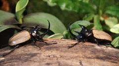 Fight between Rhinoceros Beetle. Stock Footage