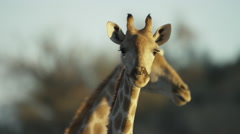 Giraffe - pair of heads, one behind, close shot. Africa animal mammal 4K uhd - stock footage
