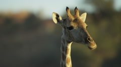Giraffe - head, close shot, chewing. Africa animal eat 4K uhd nature ultrahd - stock footage