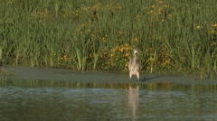 Blue Heron Pruning in Shallow Water - stock footage