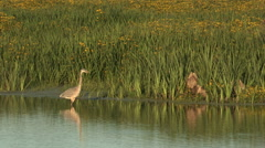 Blue Heron Standing in Shallow Water Stock Footage