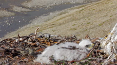 Rough-legged Buzzard chick in nest. background is river canyon in polar desert. Stock Footage