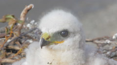 Rough-legged Buzzard chick in nest. Novaya Zemlya Archipelago. Arctic Stock Footage