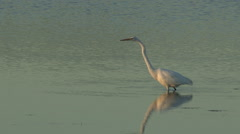 Great White Egret in Shallow Water Fishing Hunting Stock Footage