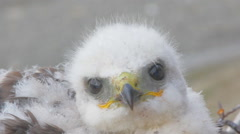Rough-legged Buzzard chick. Novaya Zemlya Archipelago. Arctic Stock Footage