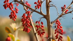 The berries of barberry Stock Footage