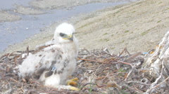 Rough-legged Buzzard chick in nest 2. background is river canyon in polar desert Stock Footage