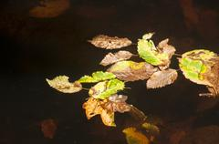 Fallen autumn leaves in puddle Stock Photos