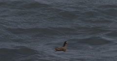 Phalerope Swims in Arctic Water Stock Footage