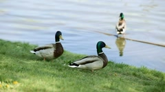 Ducks in a Moscow park on the pond Stock Footage