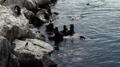 Sea Lions Swimming Of Breakwater Monterey California Stock Footage
