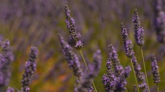Lavender field and stone ruin pan right provence Stock Footage