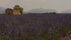 Field of lavender flowing in the wind and ruined old house Stock Footage