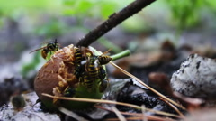 Wildlife swarm wasps eat rotten pear or apple on the ground Stock Footage