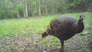 Stock Video Footage of Wild Turkey Hen