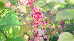 Stock Video Footage of euonymus in the autumn coloring of foliage