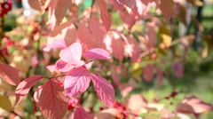 Euonymus in the autumn coloring of foliage Stock Footage