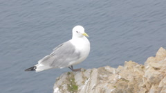 White Seagull flies into sea. Kittiwake on Barents sea. Arctic Stock Footage