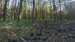Dolly shot of the pine forest with sun flares and lot of cones on the ground Stock Footage
