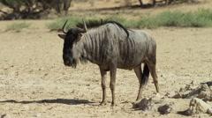 Blue Wildebeest - medium shot, standing. Africa safari 4K uhd nature animal - stock footage