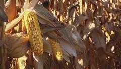Corn ears on stalk in maize field Stock Footage