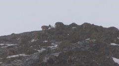 Blue Sheep herd feeding up on the mountain top in snow fall 1 Stock Footage