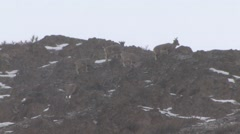 Blue Sheep herd feeding up on the mountain top in snow fall 2 Stock Footage