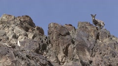 Blue Sheep herd walking in mountain in Ladakh in India 2 Stock Footage