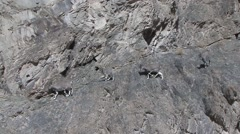 Blue Sheep herd walking in mountain in Ladakh in India 3 Stock Footage