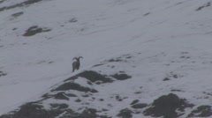 Blue Sheep males cross snowfield in Ladakh in India 1 Stock Footage