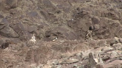 Himalayan Griffon feeding on Blue Sheep carcass and Lammergeier standing near Stock Footage