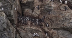 Kittiwakes Fly In Front of Guillemots on Nests 02 Stock Footage
