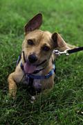 Floppy Eared Dog on a Leash - stock photo