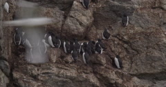 Kittiwakes Fly In Front of Guillemots on Nests 01 Stock Footage