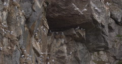 Kittiwakes Fly Around Ledge Nests Stock Footage