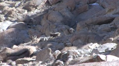 Siberian Ibex heard walking in the Himalayas in Ladakh in India 1 Stock Footage