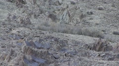 Snow Leopard approach from mountain in Ladakh in India 5 Stock Footage