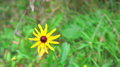 Stock Video Footage of Rudbeckia Becky Flowers blowing in the wind, black eyed sysan