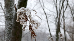 Winter forest. Faded plants are covered with snow. Stock Footage