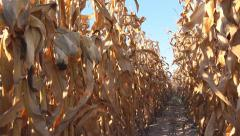 Corn field, rows of dry maize plants Stock Footage