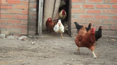 Chickens Geese run fast Stock Footage
