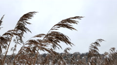 Snow-covered bushes in the gusts of winter wind. Stock Footage