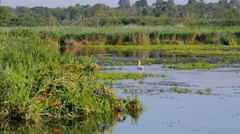 Swan on the swamp Stock Footage