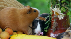 Guinea pigs and Fruits And Vegetables - stock footage