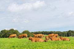 Limousin cows - stock photo