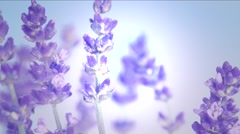 Lavender against the sky. Stock Footage
