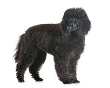 puppy poodle - stock photo