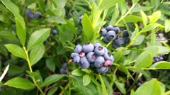 Closeup on bush blueberries, huckleberries, Vaccinium corymbosum Stock Footage